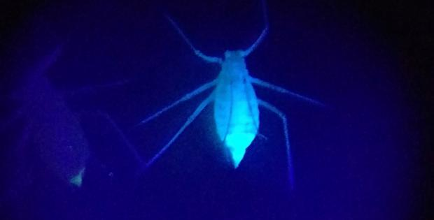 Aphid under UV light